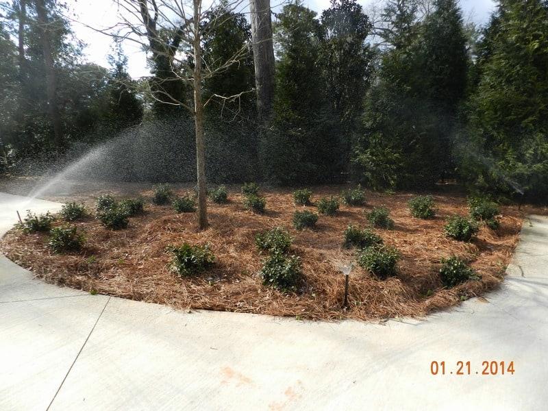 shrubs and pinestraw